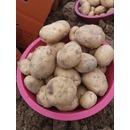 이주복딸기농장수확 고령개진 6월햇수미감자 10kg