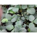 딸기모종 (설향) 5주/딸기 모종/품종:설향
