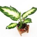 갑조네 마리안느 공기정화식물 실내 인테리어 화분