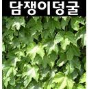 담쟁이덩굴 포트5개/덩굴식물