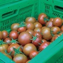 자연속애/쥬스용 토마토 5kg 산지직송/못난이쥬스용